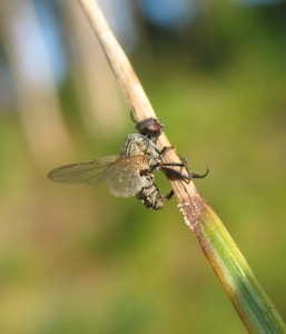mouche-collee-crop-circle